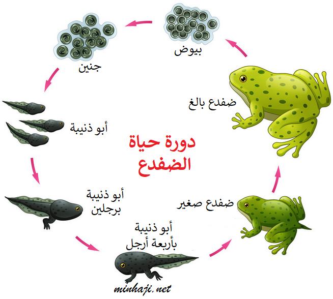 منهاجي متعة التعليم الهادف مراحل دورة حياة الحيوان