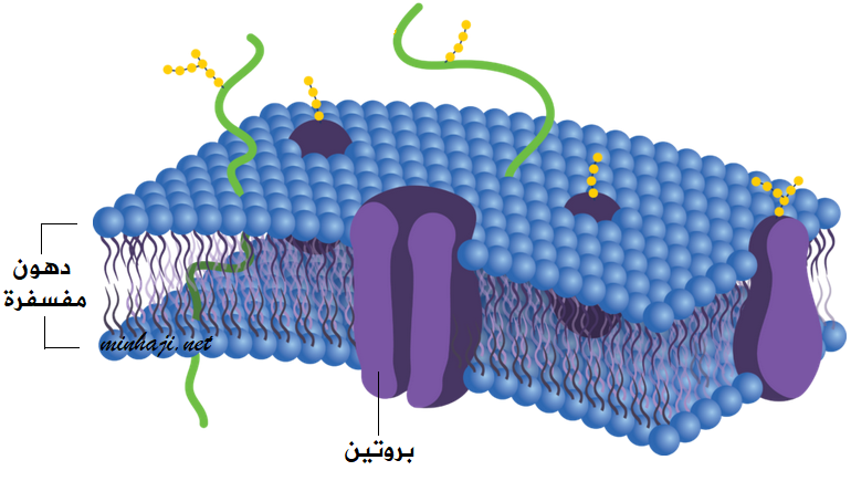 مكونات الغشاء البلازمي